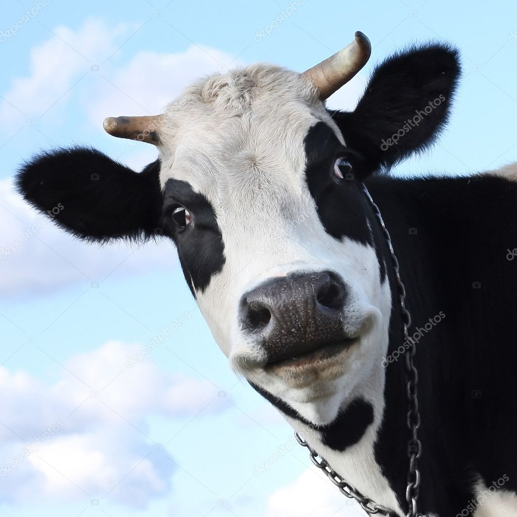 Smiling cow on sky background — Stock Photo #8153880