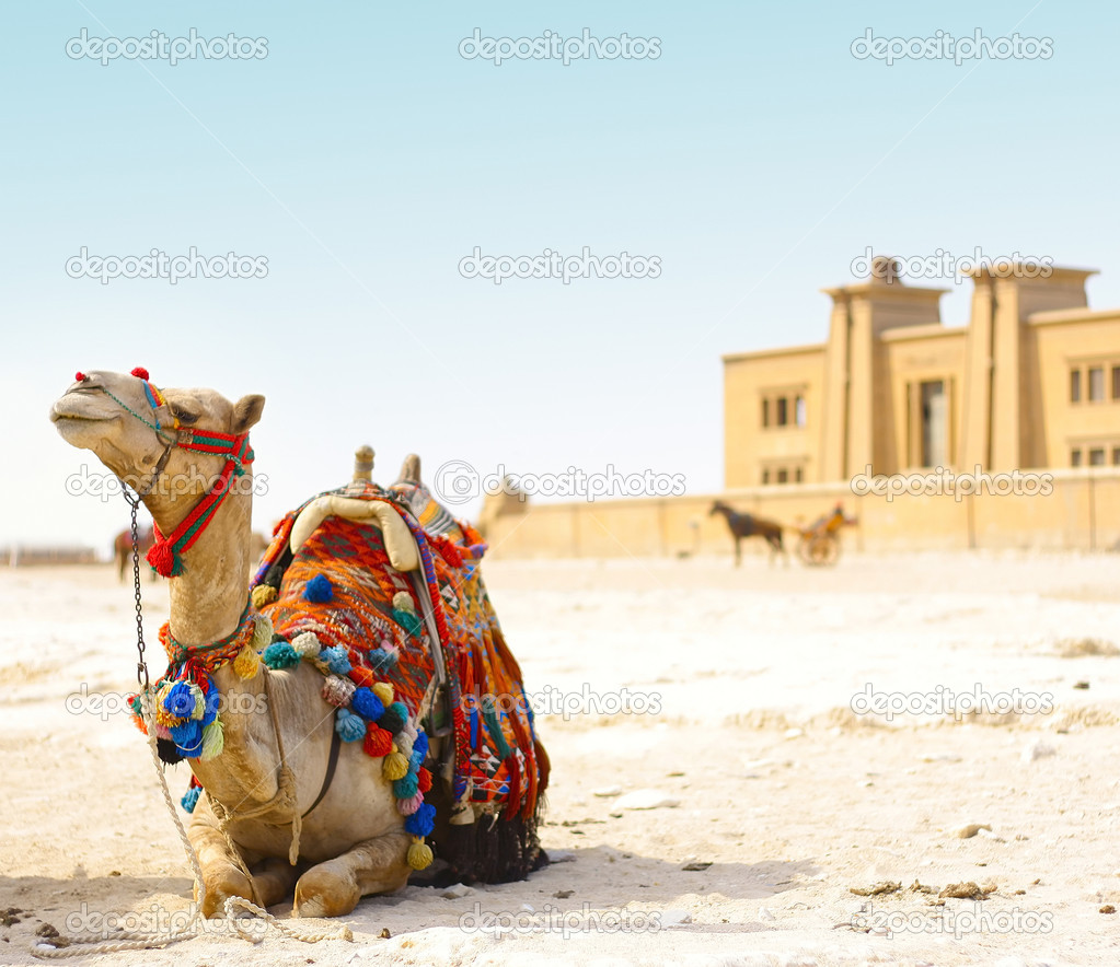 Sitting camel on sand with blue sky — Stock Photo #8154880