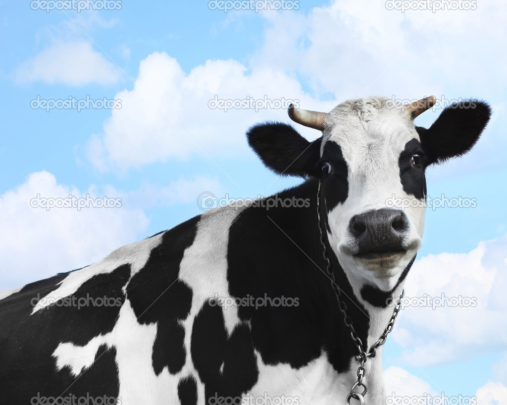 Smiling cow over blue sky background — Zdjęcie stockowe #8155169