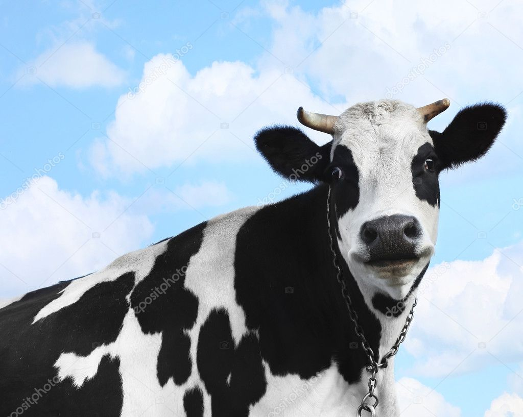 Smiling cow over blue sky background  Foto Stock #8155169