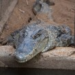 Stock Photo: Crocodile