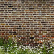 Brick wall and daisies — Stock Photo