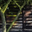 Stock Photo: Tree, ivy and wooden wall