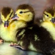 Stock Photo: Lot of fluffy yellow ducklings hatched from eggs