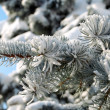 Stock Photo: Spruce branch with snow close-up