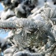 Spruce branch with snow close-up — Stock Photo #8178949
