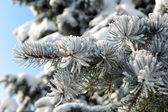 Spruce branch with snow close-up — Stock Photo