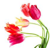 Tulipani multicolore — Foto Stock