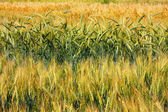 Cultivation of different varieties of wheat, wheat field — Стоковое фото
