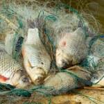 Fresh fish - carp, caught in fishing net — Stock Photo #9807125