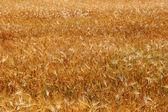 Yellow ears of wheat — Stock Photo