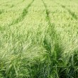 Green wheat field on a summer day - Stock Photo