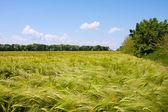 Wiejski krajobraz. pole pszenicy zielony i pochmurne niebo — Zdjęcie stockowe