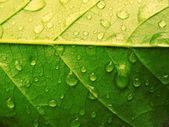 Leaf drop green — Stock Photo