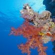 Soft coral on a tropical reef wall — Stock fotografie
