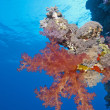 Soft coral on a tropical reef wall — Stock Photo