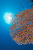 Gorgonian fan coral on a reef wall — Stock Photo