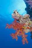 Soft coral on a tropical reef wall — 图库照片