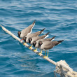 Stock Photo: White-eyed seagulls perched on rope