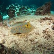 Blue-spotted stingray on the sea bed — Stock Photo