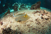 Blue-spotted stingray on the sea bed — Photo