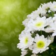 Beautiful white chrysanthemum - Stock Photo