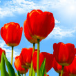 Fresh red tulips in bloom and bright spring sky. - Stock Photo