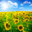 Stock Photo: Beautiful landscape with sunflower field over cloudy blue sky an