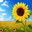 Beautiful landscape with sunflower field over cloudy blue sky an - Stock Photo