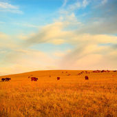 Herd of cows on morning summer field under blue sky — Stock Photo