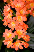 A flowers Clivia. — Stock Photo