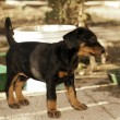 A little puppy of dobermann — Stock Photo #8602619