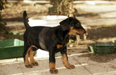 A little puppy of dobermann — Stock Photo