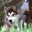 Stock Photo: Husky malamute