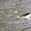 Greylag Goose. — Stock Photo #10526417