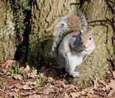 écureuil gris. — Photo