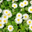 Stockfoto: White daisies