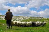 Shepherd with his sheep — Stock Photo