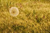 Big dandelion in the field — Stock Photo
