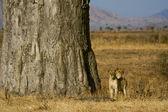 年轻的狮子在萨凡纳 — 图库照片