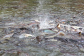 Feeding fish in Bangkok river — Стоковое фото