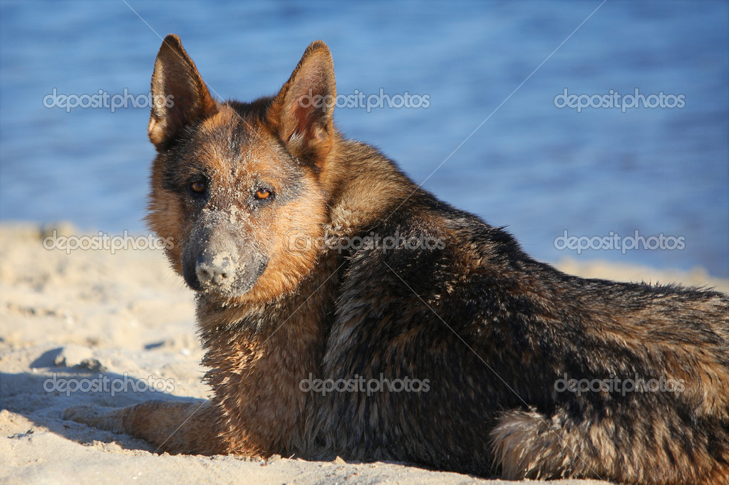 German sheep-dog laying on sand in summer — Stock Photo #10470240