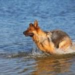 Sheep-dog in water — Stock Photo