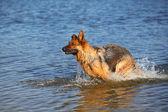 овчарки в воде — Стоковое фото
