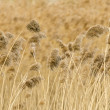 Stock Photo: Reed stalks