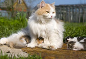 Fluffy the cat walks with young kittens — Stockfoto