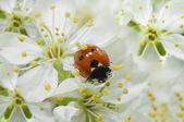 Uğur böceği üzerinde çiçekler — Stok fotoğraf