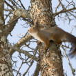 Squirrel on a tree — Stock Photo