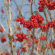 Red berries of the viburnum on branch — Stock Photo