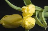 Yellow tulips — Zdjęcie stockowe